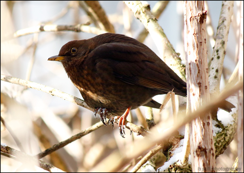 Photo of a female Blackbird on an Elder branch, with snow and dirt on its claws