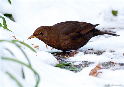 Photo of a female Blackbird eating mealworms in the snow