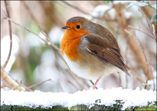Photo of a Robin with a snowy background
