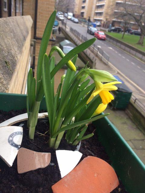 Photo of Deloraine Daffodils